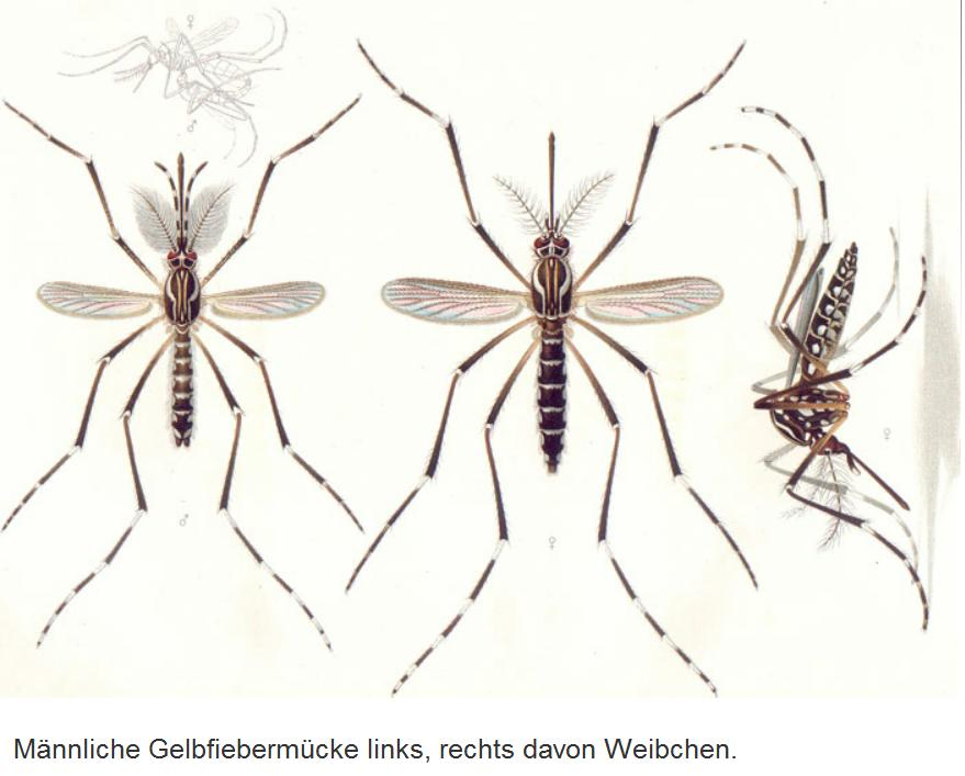 Aedes Zeichnung